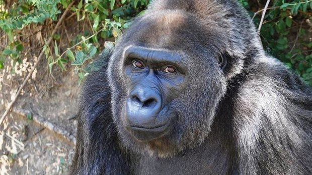 Worlds Oldest Gorilla Trudy, 63, passed away on Wednesday